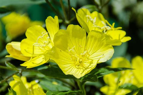 DONDIEGO DE NOCHE Oenothera affinis (Oenotheracées) - Le