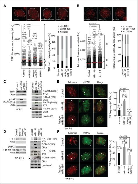 miR-155 Drives Telomere Fragility in Human Breast Cancer