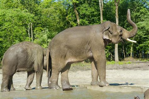 Young Asian Elephant Bull In A Foresty Enclosure Stock