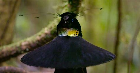 'Our Planet': Watch Exotic Birds Dance in Netflix Nature Doc